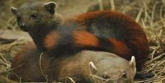 Мадагаскарские хищники
