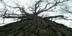 царь дуб