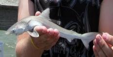 что делают из акул